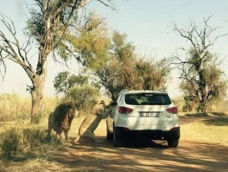 Scene of lion attack in South Africa